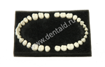 TEETH COMPATIBLE COLOMBIA MODEL