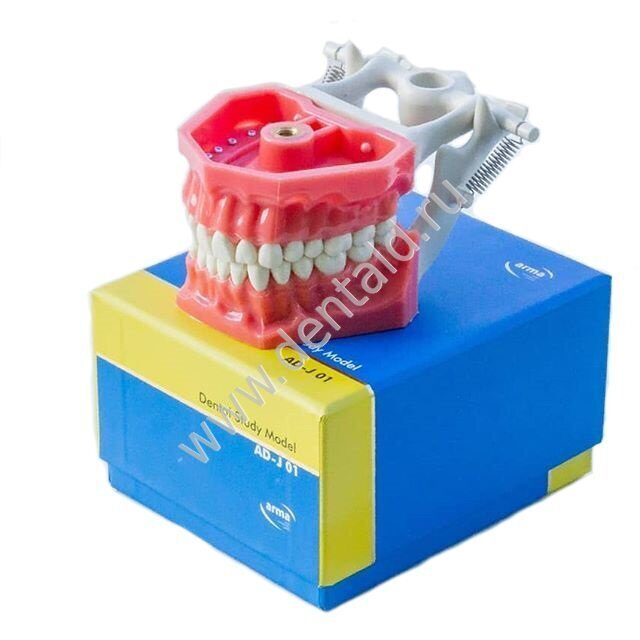 ARMA Dental Study Model #AD-J01