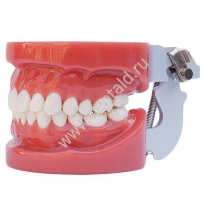 dental-teaching-model-with-screw-fix.jpg